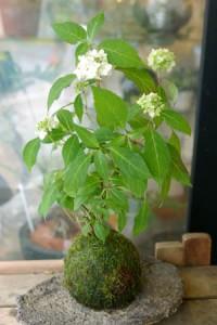 5月ヤマアジサイの苔玉